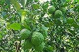 30 Seeds Kaffir Lime Fresh Seeds in 2017 Easy to Grow Fragrant & Organic Source