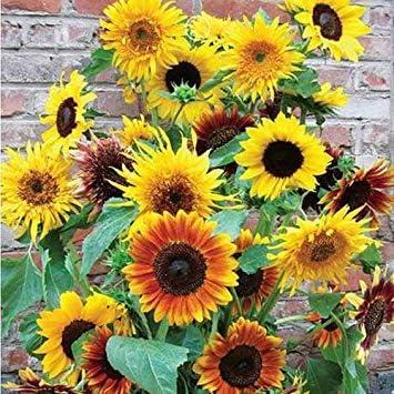 VISTARIC 100% genuino 100 semillas/bolsa mixta espuela de semilla de Chardonnay, semillas de flores cohete Consolida, colores brillantes para el jardín de