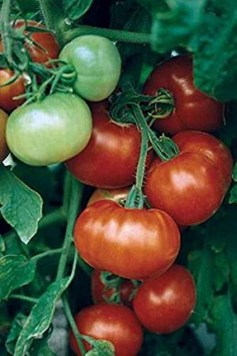 super-fantastic-f1-tomato-20-seeds-large-yields-juicy-meaty-flavorful-fruits