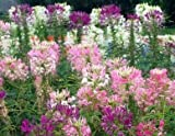 David's Garden Seeds Flower Cleome Mix LE111OB (Multi) 500 Open Pollinated Seeds