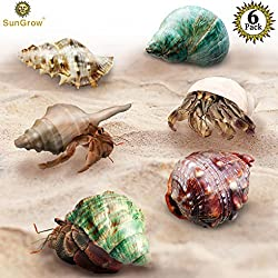 SunGrow 6 Assorted Turbo Hermit Crab Shells - Growth Shells for Crabs - Essential for Hermies Who Need a Home - Allows for Proper Growth - Multipurpose Conches for Home, Aquarium or Crab Tank Decor