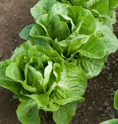David's Garden Seeds Pelleted Seeds Lettuce Coastal Star D2963KP (Green) 100 Organic Seeds