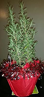 (1 Gallon) ROSEMARY Christmas Tree (clay pot)- Gorgeous Mini Christmas Tree-also great herb, EXCELLENT GIFT