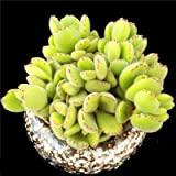 "Succulent Live Plant ""Cotyledon tomentosa""#075"