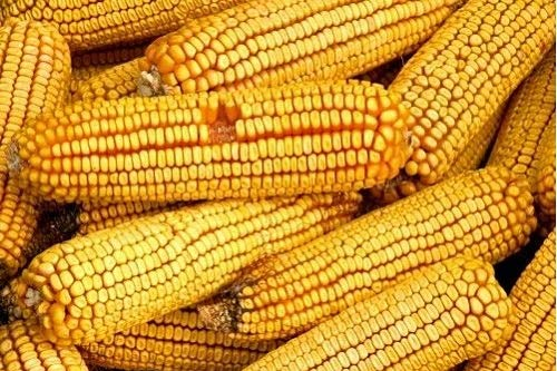 - David's Garden Seeds Corn Dent Reids 0112 (Yellow) 100 Non-GMO, Heirloom Seeds