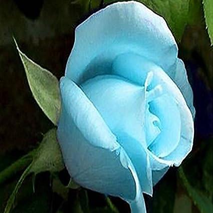 azalea gardens rare rose flower live plant sky blue rose flower