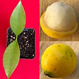 Lemon Drop Mangosteen Garcinia Intermedia Yellow Tropical Fruit Tree Plant
