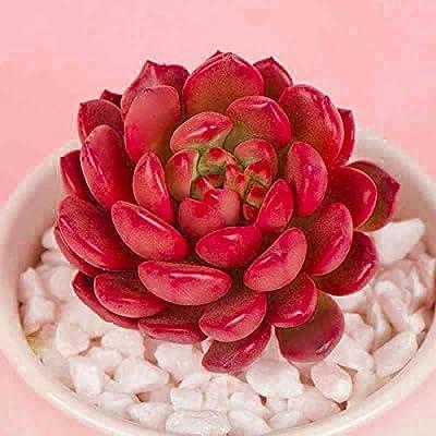 Succulent Live Plant - Sedeveria Pink Ruby : Garden & Outdoor