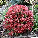 Pieris Mountain Fire (Japanese Andromeda), 1 GAL