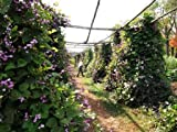 Hintlerland Trading Hyacinth Bean Vine (Dolichos lablab) 10 Seeds
