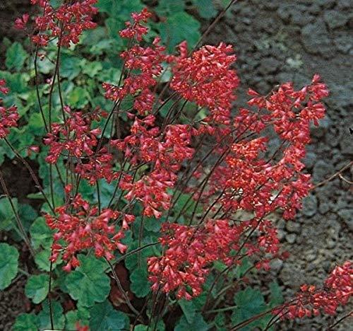 - 50+ heuchera Firefly, Coral Bells/Fragrant Shade Perennial Flower Seeds