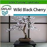 SAFLAX - Cerezo japonés - 30 semillas - Con sustrato - Prunus serulata