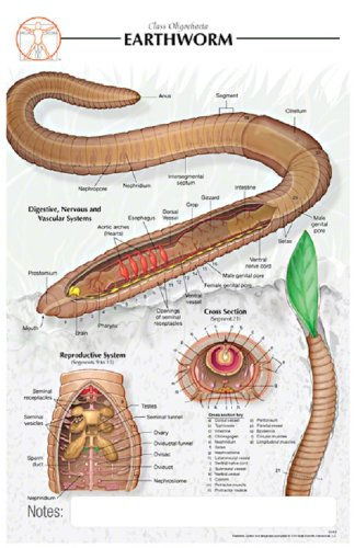 Amazon.com: 11x17 Post-It Biological Poster - Basic Anatomy of the ...