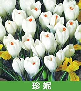 de semillas en macetas de interior especies azafrán importado del azafrán 50pcs