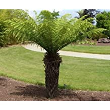 Thyrsopteris elegans - Tree fern - 10 seeds