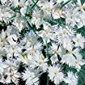 Hazzard's Seeds Dianthus plumarius White Lace 250 seeds