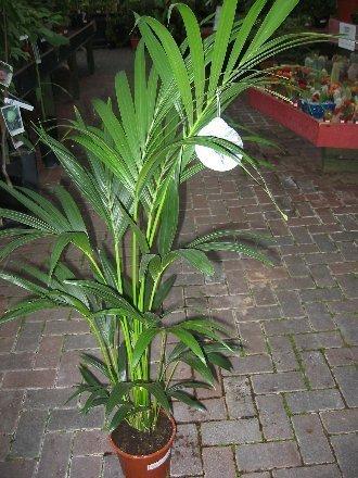 Zimmerpflanzen Palme zimmerpflanze für wohnraum oder büro howea forsteriana kentia