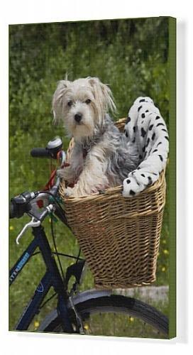Cuadros en lienzo de perro - cesta para bicicleta en Yorkshire ...