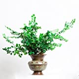 Maidenhair Fern in Pot (Pot Style May Vary-not Shown) with Natural Moss Topper, 22 Inches High
