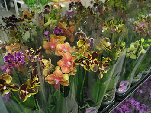 3 StückPhalaenopsis, 2 Triebe, Orchidee, blühend, 9cm Topf, Orchid, Orchidée
