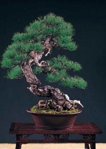 Tropica /& Bonsai - 40 graines conif/ère//pin rouge de Taiwan Pinus taiwanensis