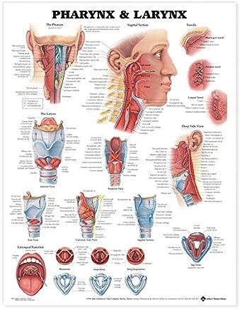 Pharynx & Larynx Anatomical Chart: Anatomical Chart Company: Amazon ...