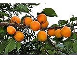 5 Manchurian Apricot Tree Seeds - Prunus mandshurica USA armeniaca -