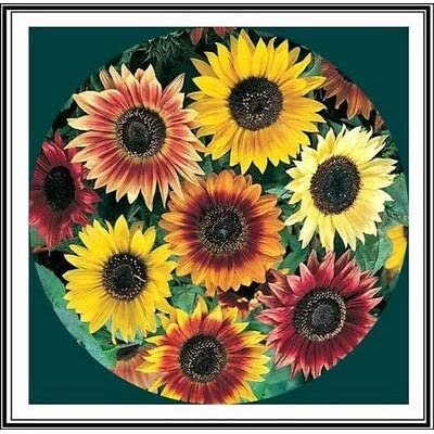 50+ Sunflower Seeds Mix - Crazy Mix - 15+ Varieties, Easy and Fun to Grow : Garden & Outdoor