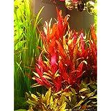 Alternanthera Reineckii VAR. Roseafolia | Telanthera – Easy Red Plant