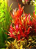 AquaLeaf Aquatics Alternanthera Reineckii var. Roseafolia | Telanthera – Easy Red Plant