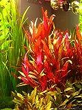 AquaLeaf Aquatics Alternanthera Reineckii VAR. Roseafolia | Telanthera – Easy Red Plant