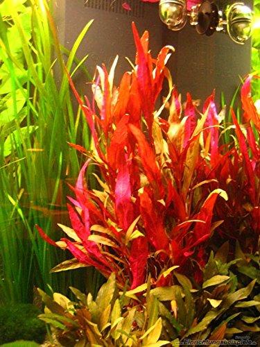 AquaLeaf Aquatics Alternanthera Reineckii VAR. Roseafolia | Telanthera - Easy Red Plant