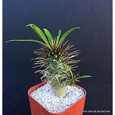 "2"" Plant Pot Rare PACHYPODIUM LAMEREI MULTIHEAD Madagascar Palm Cacti Succulent Bonsai : Garden & Outdoor"