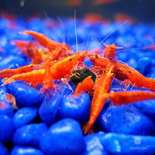 SunGrow Shirakura Shrimp Food Made Organic Seaweed Rich in Vitamins Minerals Provides Optimum Health Shrimp, Crayfish, Pleco, Snail & Bottom feeders by SunGrow (Image #3)