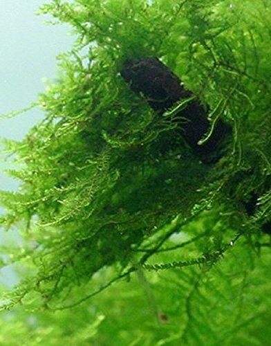 Live Java Moss by Aquarium Plants Galore