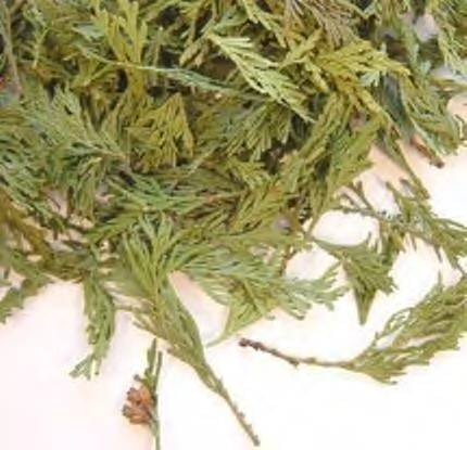 Herbs: Cedar Tips (Wild Harvested)