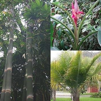 Palmen Bananen Bambus Samen Mix 6 Arten 60 Samen Amazon De Garten