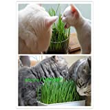 1 Professional Pack 300 Particles Foliage Plant Seeds Wheat Grass Cat Grass Seeds Wheat Seeds(Cats like to eat grass