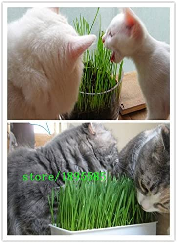 1 Pack Profesional 300 semillas de la planta del follaje de las partículas de hierba de trigo gato hierba Semillas Semillas de trigo (los gatos les gusta comer hierba: Amazon.es: Jardín