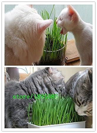 1 Pack Profesional 300 semillas de la planta del follaje de las partículas de hierba de trigo gato hierba Semillas Semillas de trigo (los gatos les gusta ...