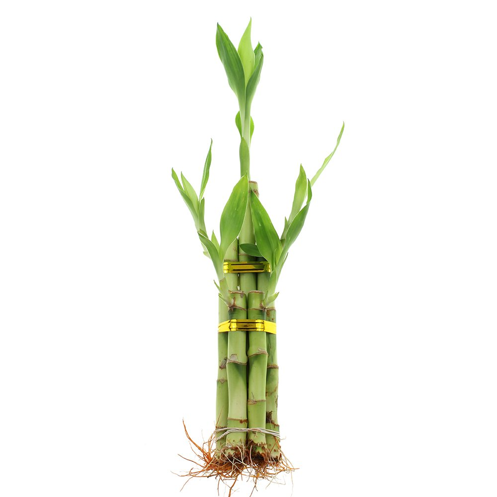 NW Wholesaler - 5 Stalk Lucky Bamboo Arrangement