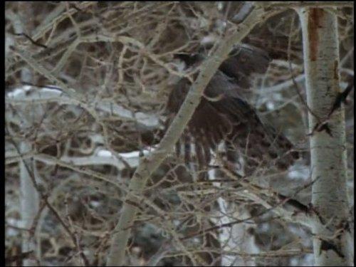 Birds of Prey (Shrikes Animals)