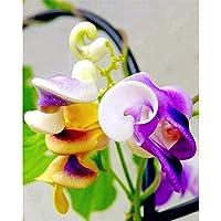 ¡Nueva llegada! Grandes promociones 50pcs rara Silla hermosa flor Caracol verde semilla de enredadera fácil de cultivar…