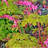 "shade dicentra GOLD HEART Bleeding Heart pink 2.5"" pot ☆1 Live Potted Plant☆"