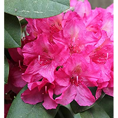 """Rhododendron Hot Dawn - Bright Pink Globe Blooms - Grows Four Feet Tall (8"""" to 12"""" Wide Plant – Typically Two Gallon) : Garden & Outdoor"""