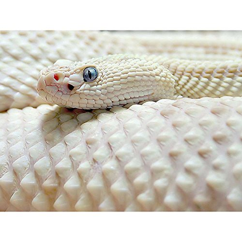Albino Snake - Wildlife Animal Art Print Poster Wall Decor Home Decor es