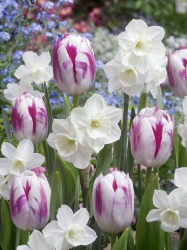 6 White Purple Tulip Daffodil Bulbs Mix Spring Flower Garden Hardy Perennial by MW209