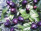 Pretty In Purple Pepper, 20 Seeds - Hot Pepper - EDIBLE/ORNAMENTAL PEPPER