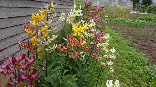 (25+lot Mix Colors Hybrid Martagon Lily seeds,Turks Cap,hardy shade perennial )