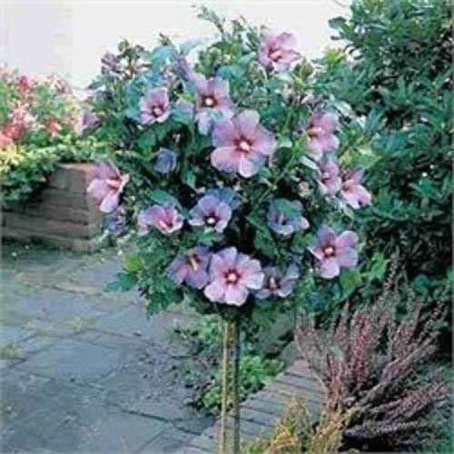 Rose of Sharon Tree Hibiscus Syriacus 1 to 2 Feet Tall Live Tree